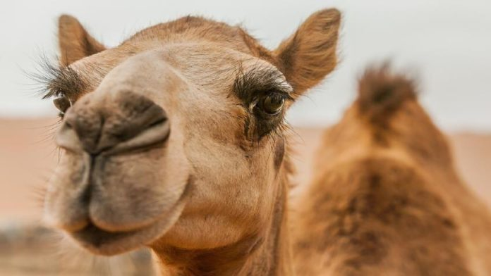 Salam Hospital for Camel Veterinary